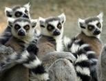 En gruppe lemurer i Madagaskar