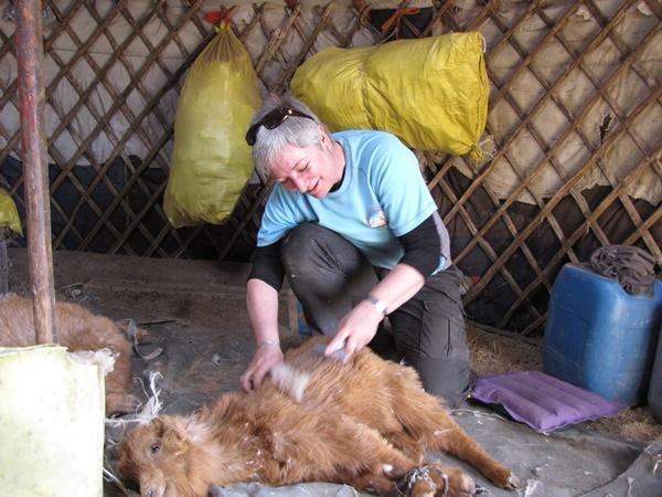 Frivillig karter uld på nomadeprojekt i Mongoliet