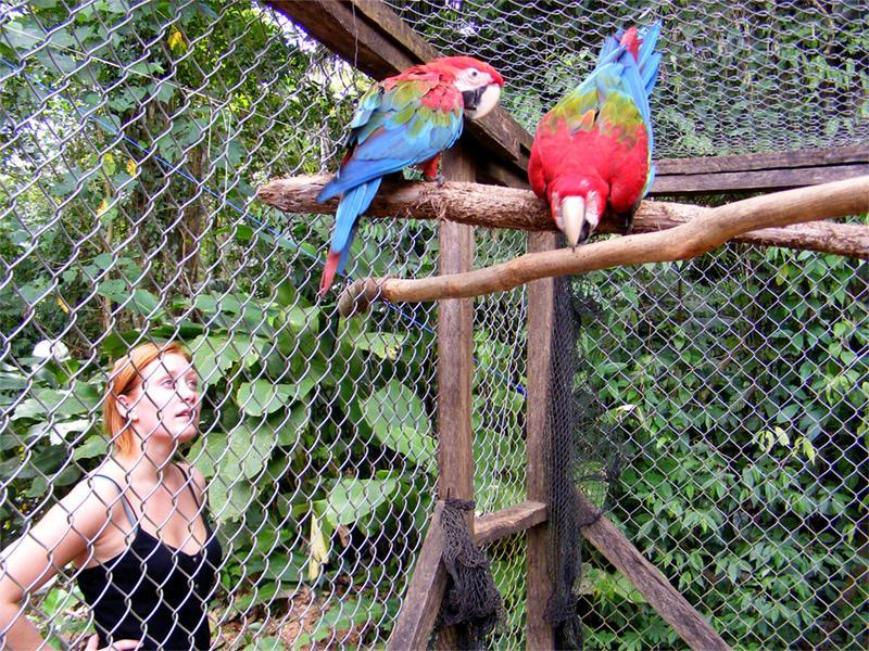 Frivillig observerer papegøjer i Taricaya