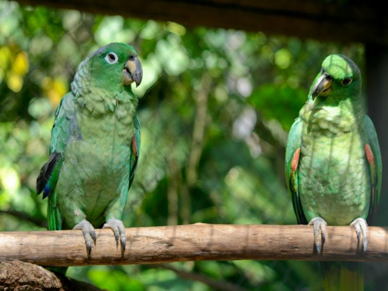 Parrots in Taricaya conservation placement