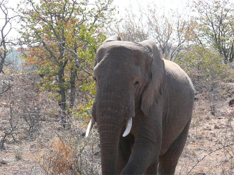 Elefant i Sydafrika