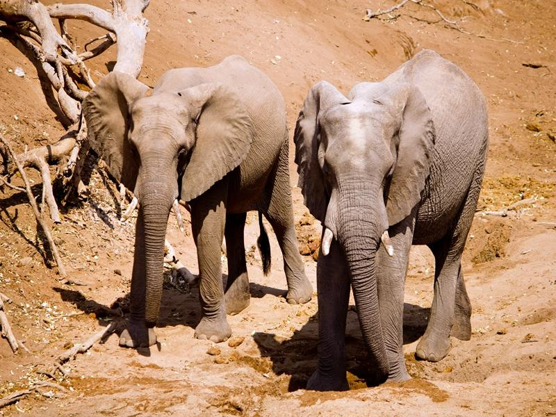 Two elephants walk together in the veld