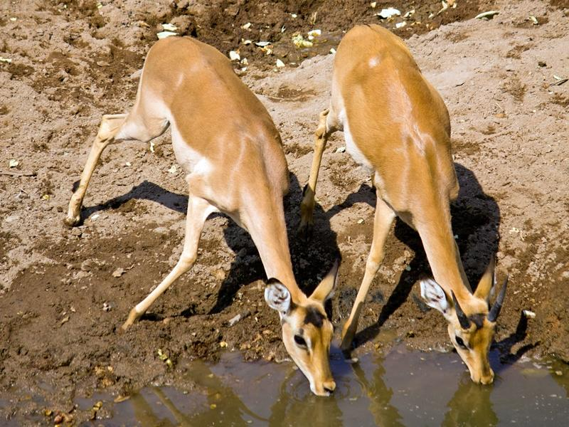 Two animals drink water together at a watering hole