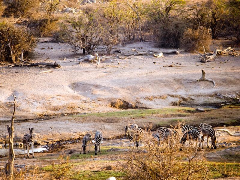A scenic photo including some zebras