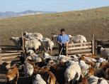 Sheeps in Mongolia