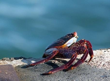 Crabe de l'Équateur
