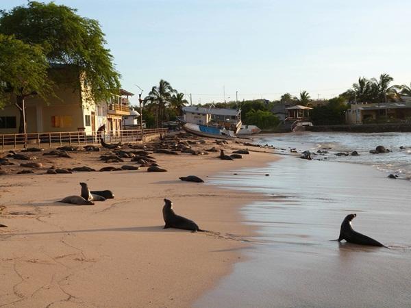 Des lions de mers sur la plage en Équateur