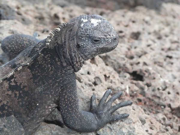 Iguane en Équateur