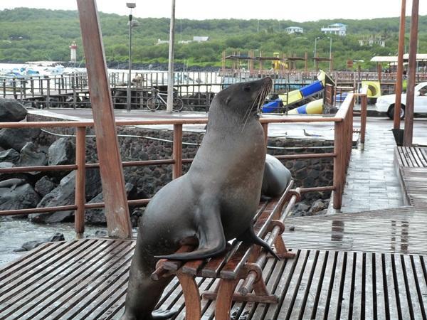 Lion de mer en Équateur
