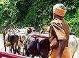Local herding oxen