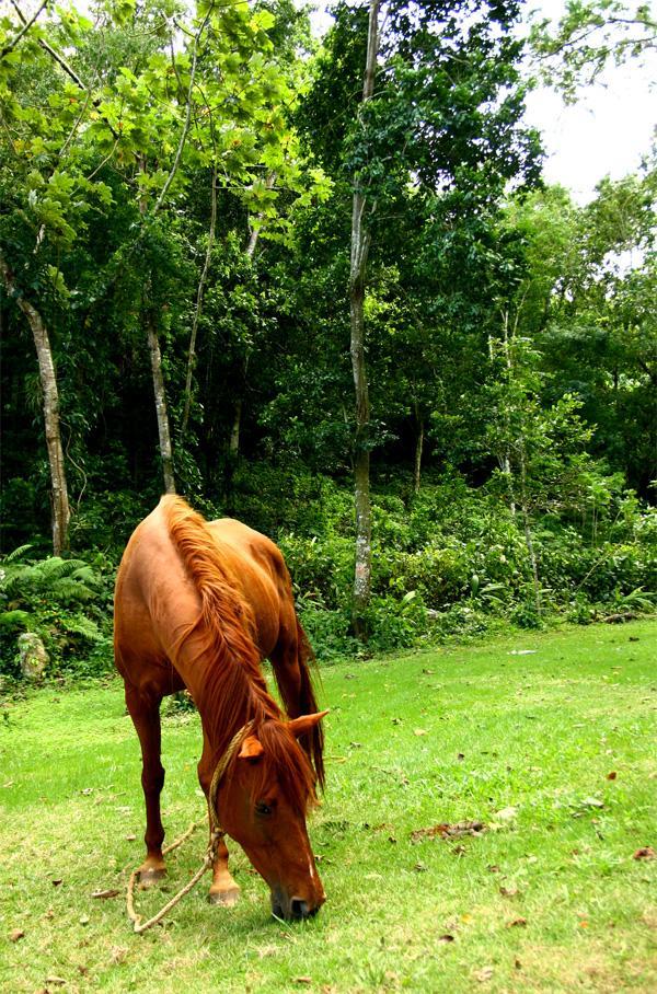 Cheval en Jamaïque