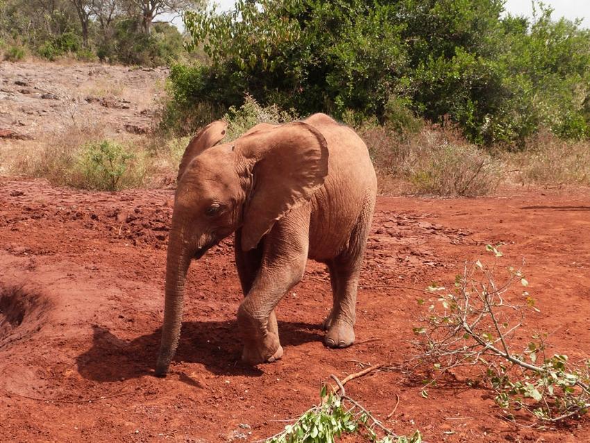 Bébé éléphant au Kenya