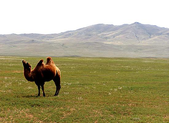 Camel in mountains