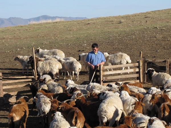 Troupeau de moutons en Mongolie