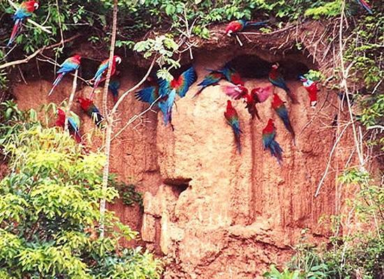 Macaw colpa