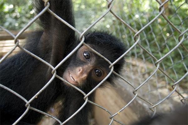 Singe sur la réserve de Taricaya, sur la mission d'écovolontariat au Pérou