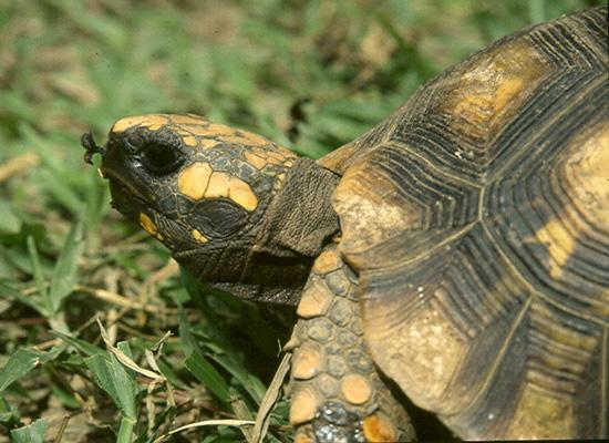 Yellow spotted tortoise