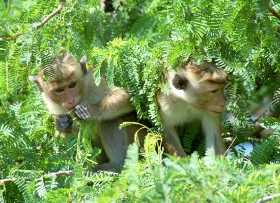 Monkeys eating