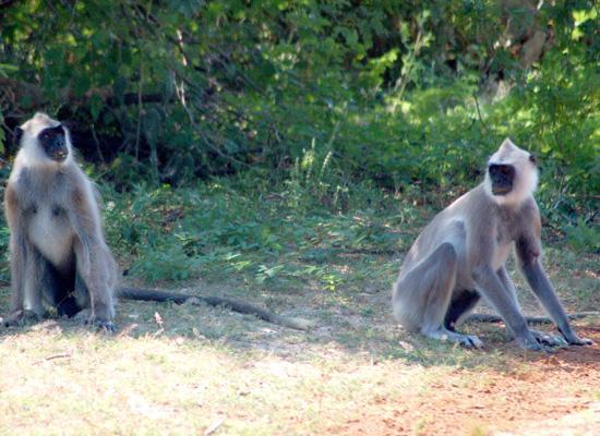 Sri Lanka langur