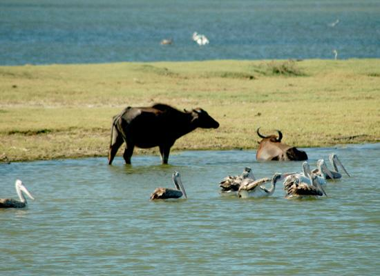 Water buffalo and birds life