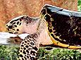 Hig turtle