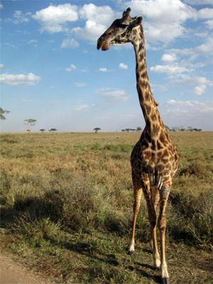 Girafe à Serengeti, en Tanzanie