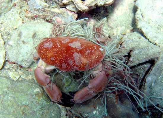 Entagled Crab