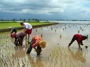Activité plantation de riz