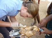 Volontaire médecine vétérinaire pratiquant des soins