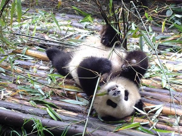 中国のアニマルケアプロジェクトの活動先で保護されているパンダ