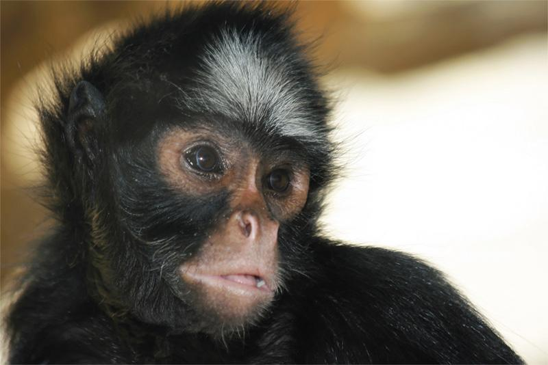 Cute Costa Rican monkey