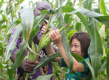 農業&畜産プロジェクトで作物を収穫するトーゴの日本人ボランティア