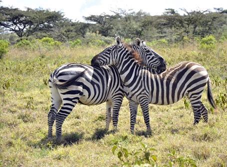케냐 공원의 얼룩말들