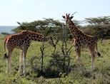 케냐의 초원에서 풀을 뜯는 기린들