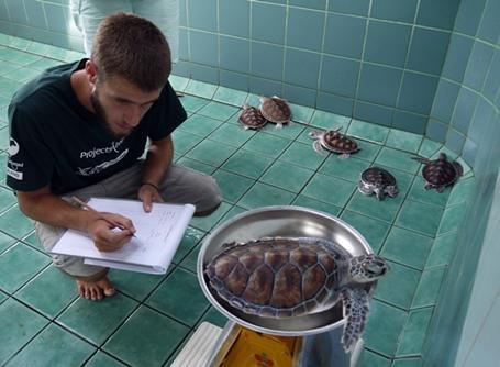 태국 환경보호 봉사자가 바다거북의 무게를 재고 있다