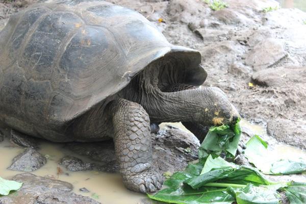 Reuzenschildpad op het natuurbehoud project op de Galapagos in Ecuador
