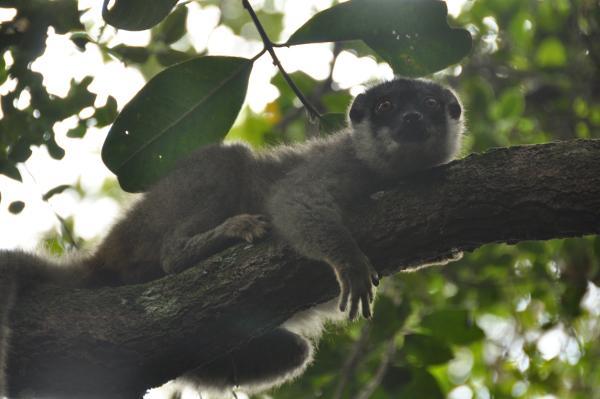 Een Maki ligt op een tak op het natuurbehoud project in Madagaskar