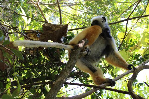 Een foto van één van de vele maki soorten die Madagaskar bewonen