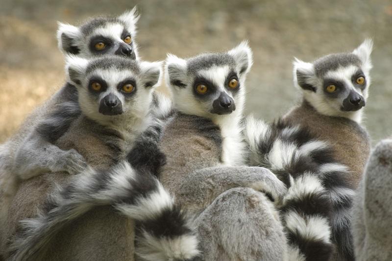 Ringstaart Maki's in Madagaskar