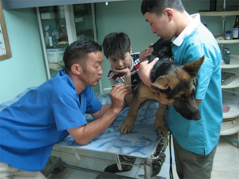 Lokale dierenarts geeft een Duitse herder een inenting in Mongolië