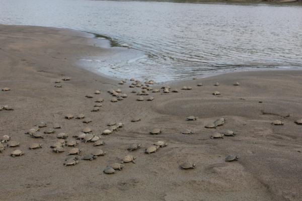 Een groep zoetwaterschildpadden kruipt het water in na hun vrijlating in het Taricaya Ecological Reserve in Peru