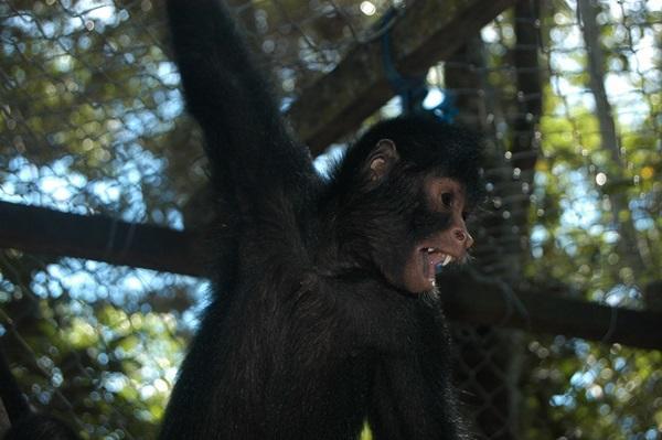 Jonge slingeraap houdt zich vast in een opvang bij het Projects Abroad Natuurbehoud project in het Taricaya Ecologische Reservaat in Peru
