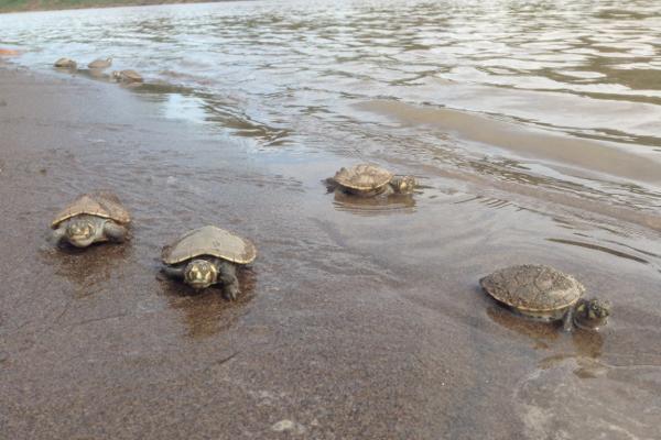 Een groepje zoetwaterschildpadden in het water bij Taricaya Ecological Reserve in Peru