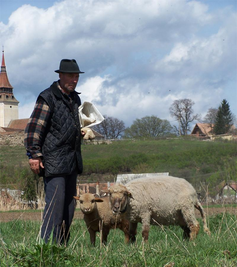 Lokale man in het veld met zijn schapen in Brasov, Roemenië