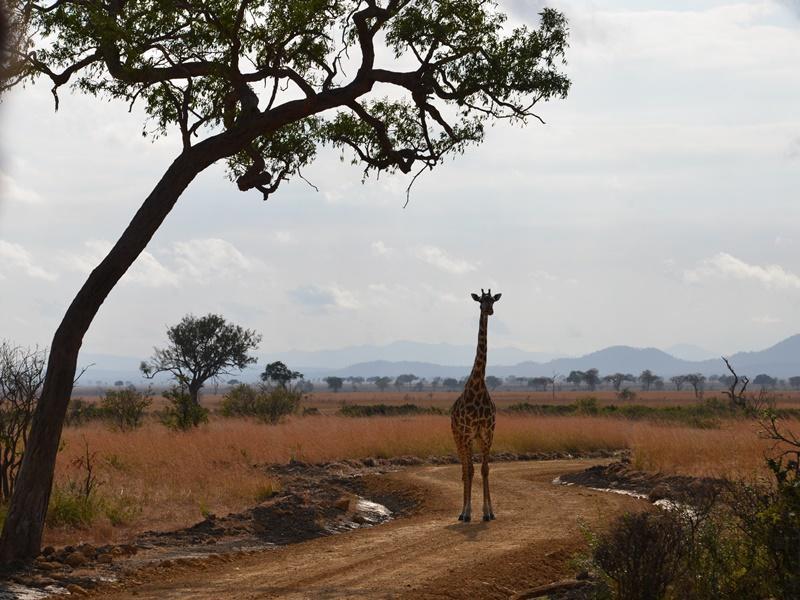 Een giraffe staat op de weg tijdens een safari in Tanzania