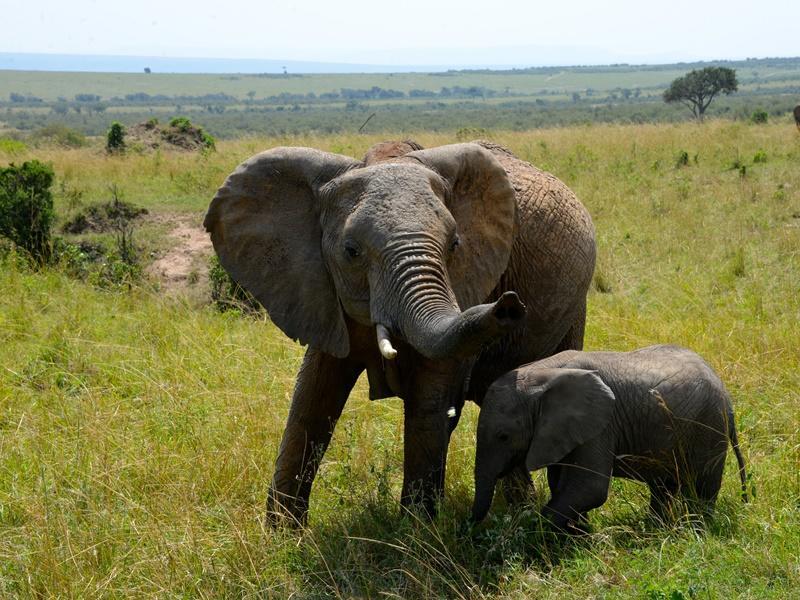 Een moeder olifant past op haar kalf in Tanzania