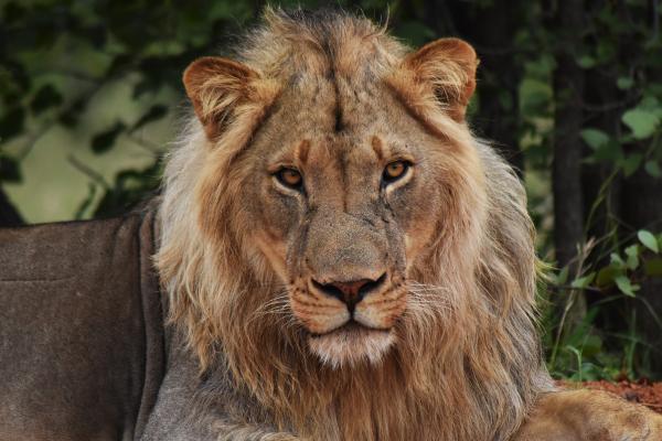 Een leeuw is gespot in het Wild at Tuli game reservaat in Botswana, waar het Projects Abroad natuurbehoud project plaatsvindt.