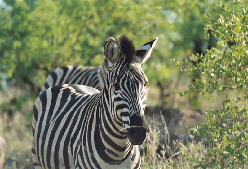 Zebra in Zuid-Afrika