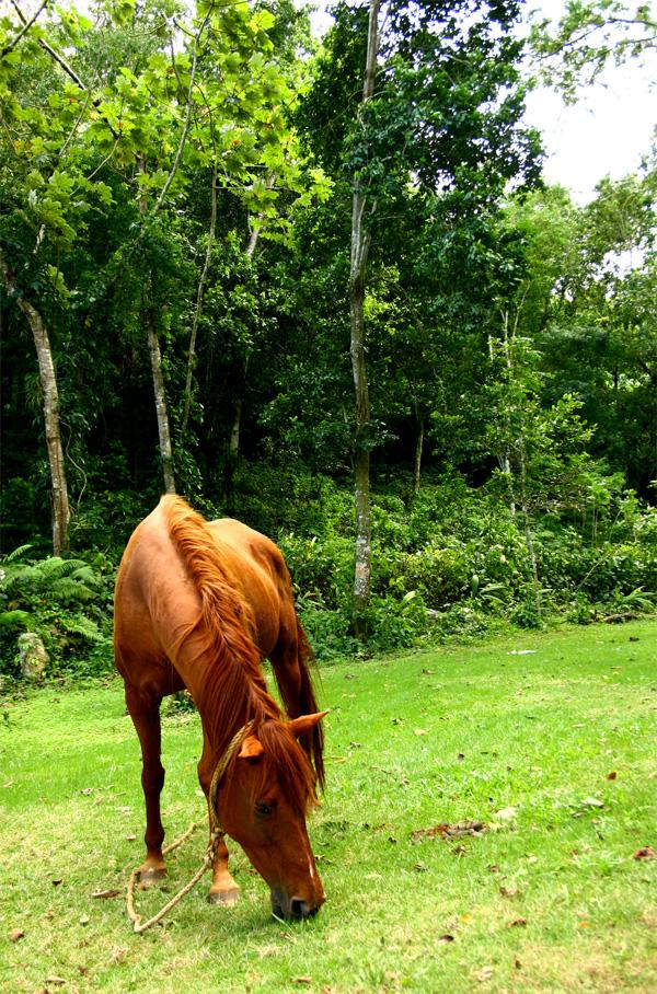 Horse in Jamaica