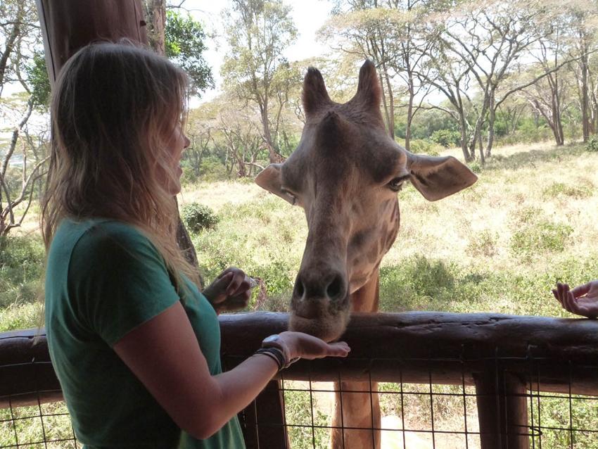 Feeding a giraffe